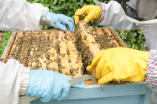 Rebecca Enderby - Saving the Waggle Dance - Urban Beekeeping in London
